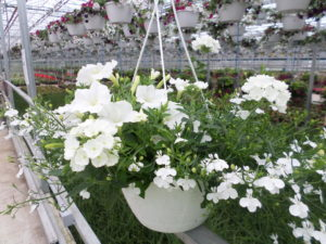 White Flowers in Hanging Basket