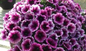 Purple Annuals, Full Flowers