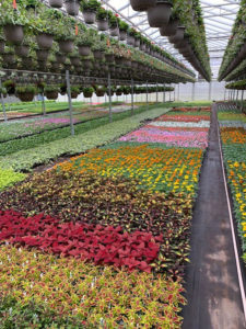 flats of ornamental plants and flowers