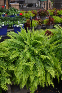 hanging baskets ferns