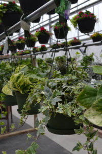 hanging baskets of ivy