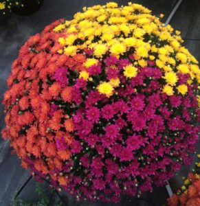 Mums for fall, Porch flowers and baskets